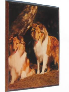 Collie dogs poster print wall plaque, shiny varnished picture on wood