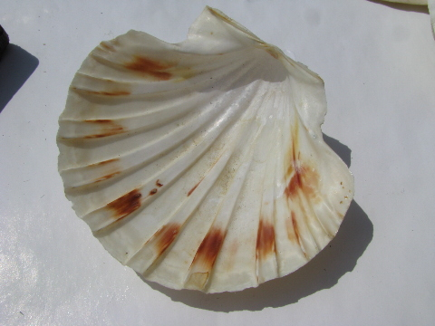 Lot 20 large scallop seashells for beach crafts driftwood for Large seashells for crafts
